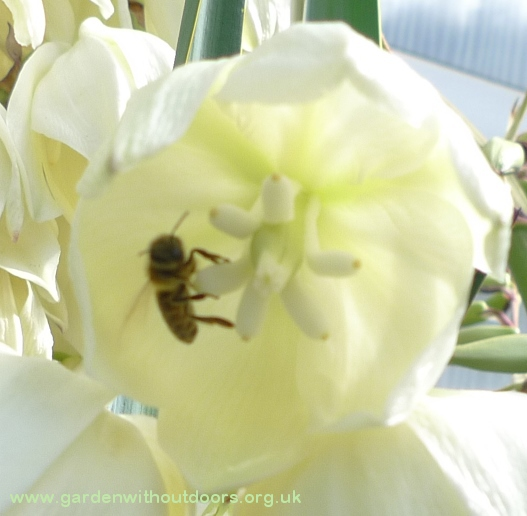 yucca flower with bee