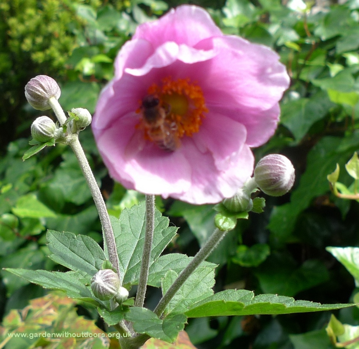 japanese anemone with bee