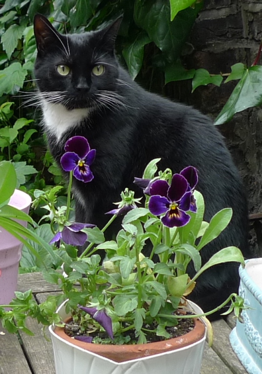 pansies and tuxedo cat