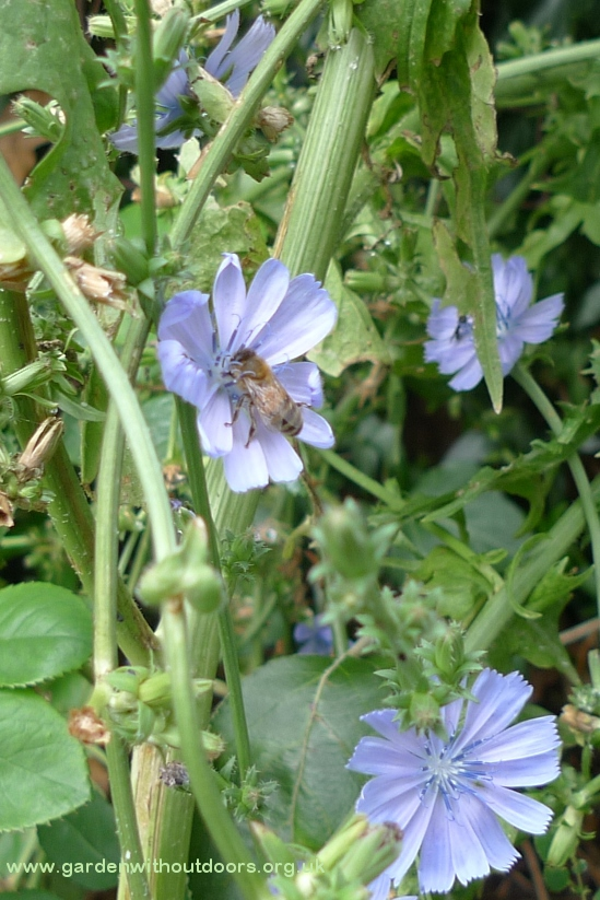 chicory with bee