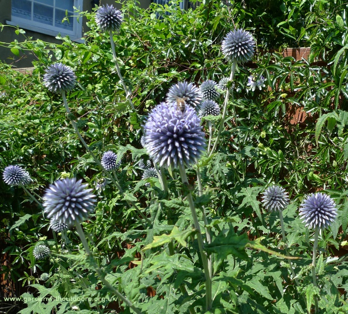 globe thistles with bee