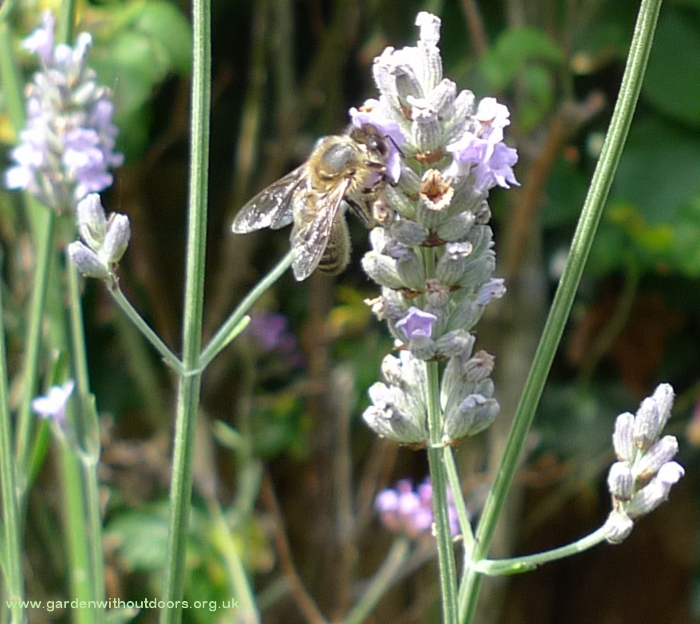 lavender with bee