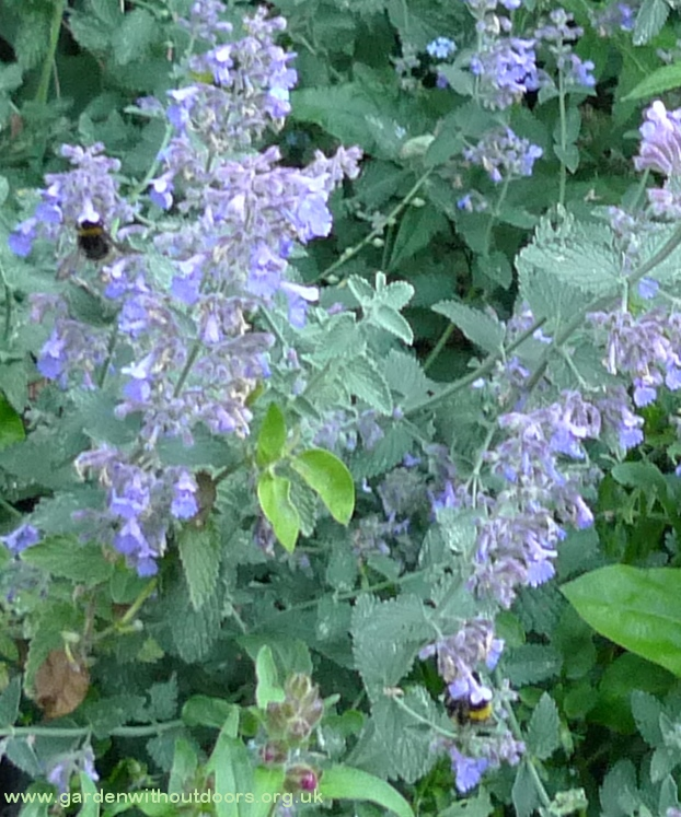 nepeta with bees