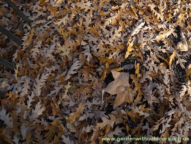 narrow oak leaves