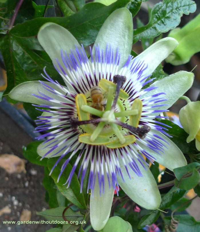 passionflower with bee