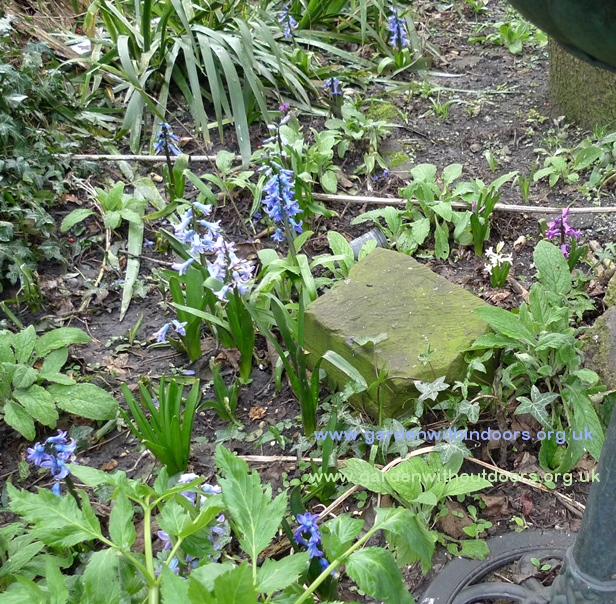previously forced hyacinths blooming in the garde