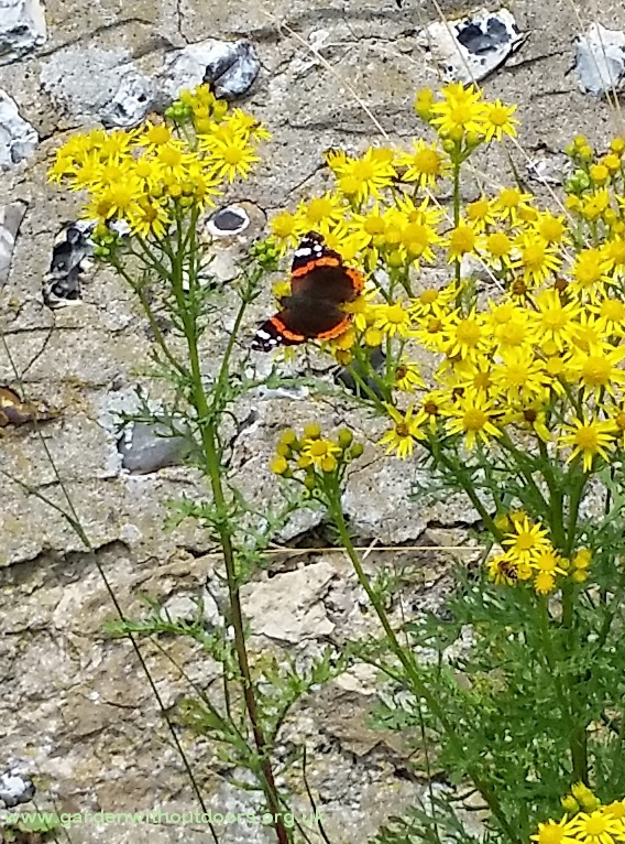 red admiral butterfly on ragwort Binsted West Sussex