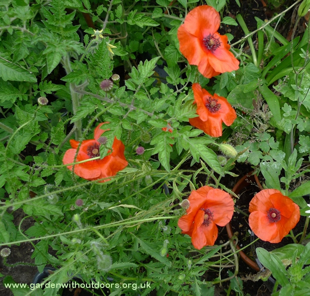 red field corn poppies