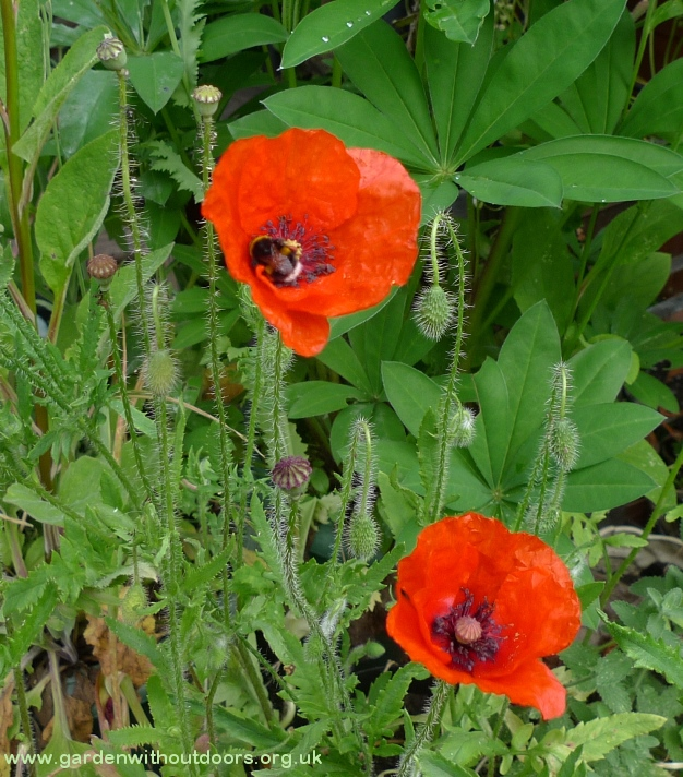 field red corn poppy with bee