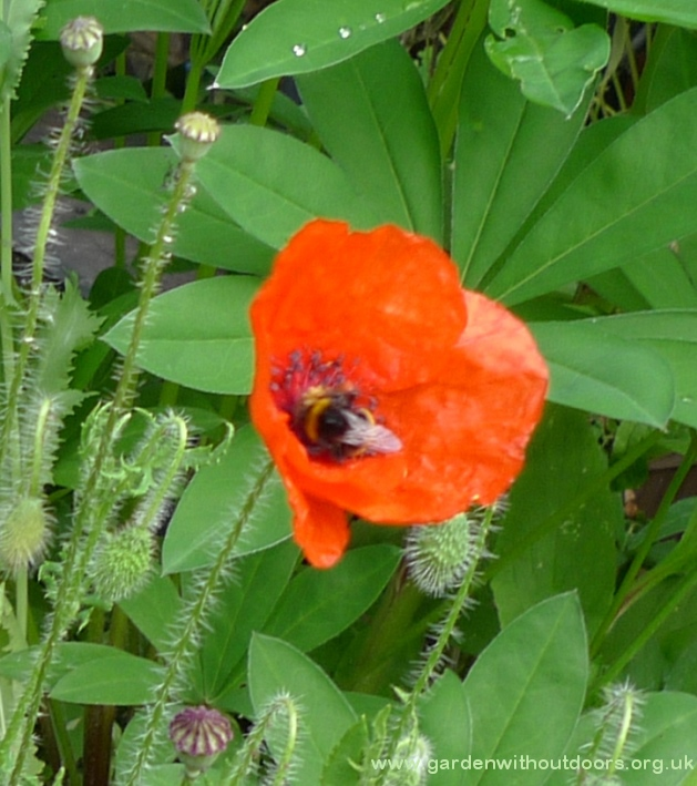 red field corn poppy with bee