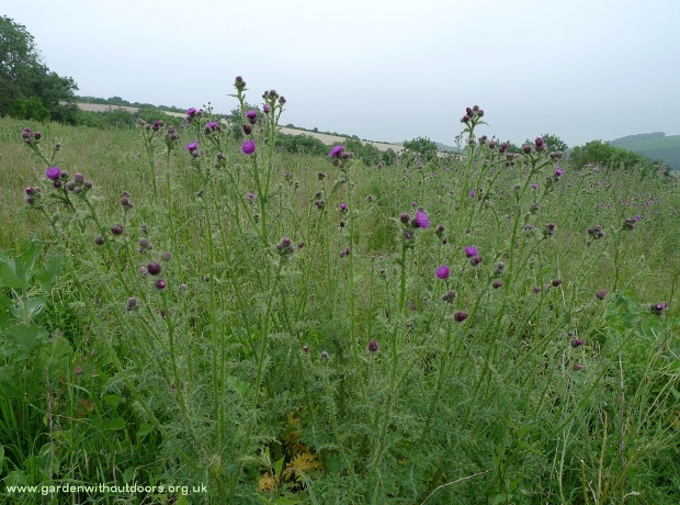 thistle field South Downs