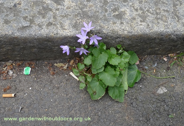 trailing bellflower